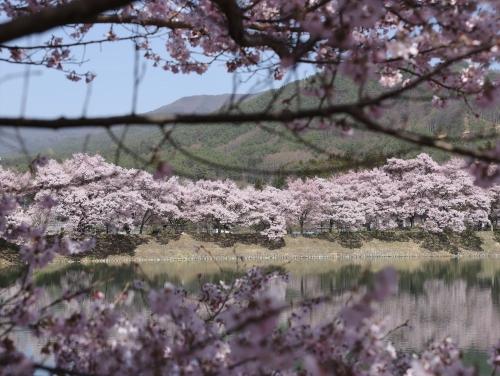 お腹いっぱいといった感じの桜