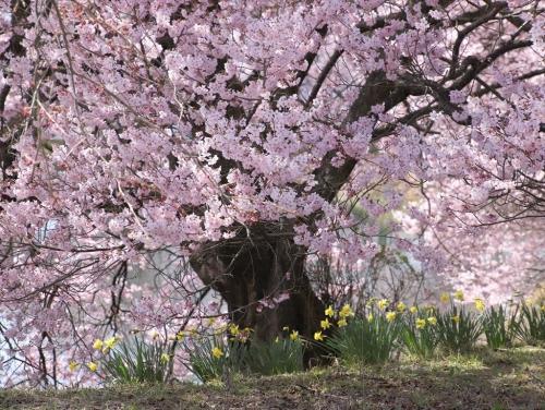 桜と水仙20210331