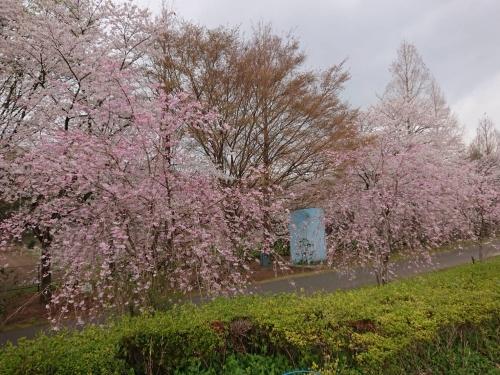 花の丘公園桜並木