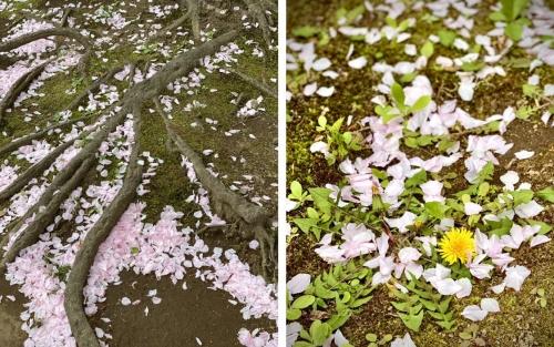桶川西口公園散った桜