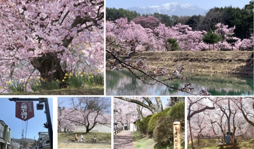 先日の高遠の桜