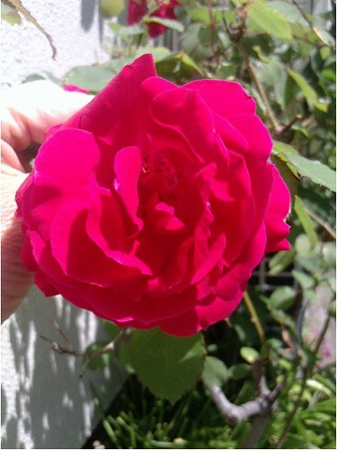 北村の薔薇