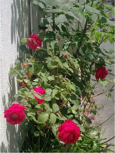 北村の60年以上の香りのよい紅薔薇