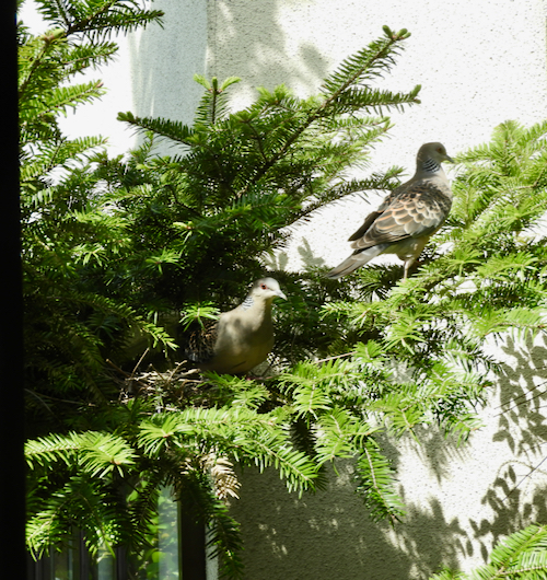 キジバト営巣