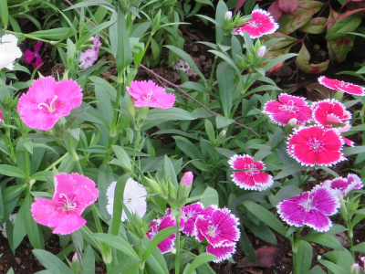 IMG_8002_0406バス通りの花壇ナデシコの花_400