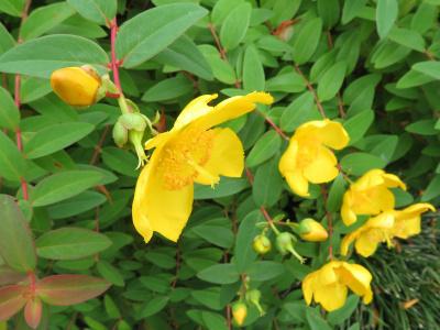 IMG_9557_0528ヒペリカム・ヒドコートの花と葉_400