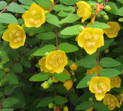 IMG_9574_0528キンシバイの花シベが溢れそう_400