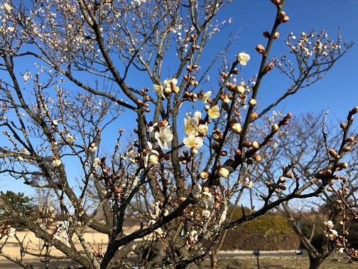 梅の花2021