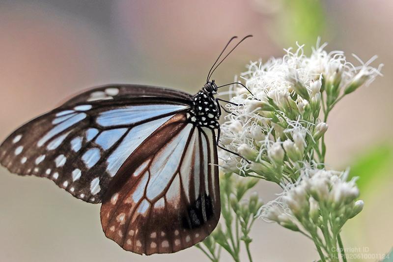 とべ動物園の花壇に植えましたフジバカマに今年もアサギマダラが飛来しました。