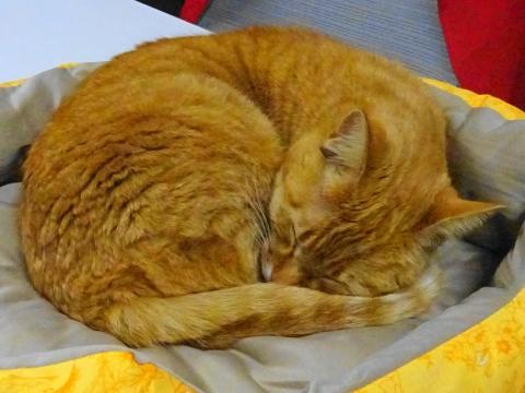 「我が家の愛猫如来くんは、ライオンのように寝ています!」①