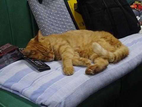 「我が家の愛猫「如来くん」は、リモコンを枕に寝ています!」①