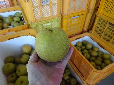 「石岡の梨の選果場が始まりました!」③