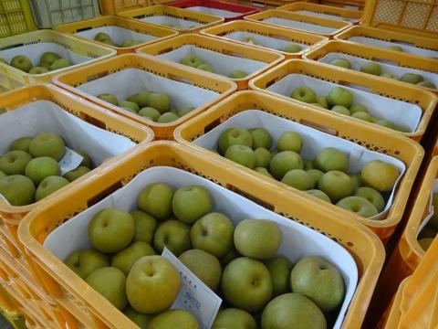 「石岡の梨の選果場が始まりました!」④