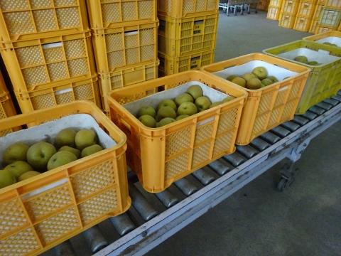 「石岡の梨の選果場が始まりました!」⑧