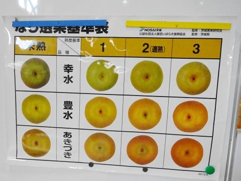 「石岡の梨の選果場が始まりました!」⑥1