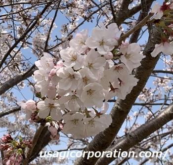 2021 0402 桜2