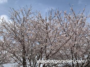 2021 0402 桜3