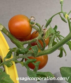 2021 0822 トマト