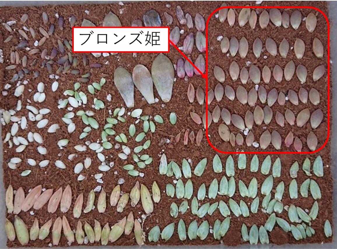 会社員の多肉植物葉(よう) カラフル多肉植物葉挿し