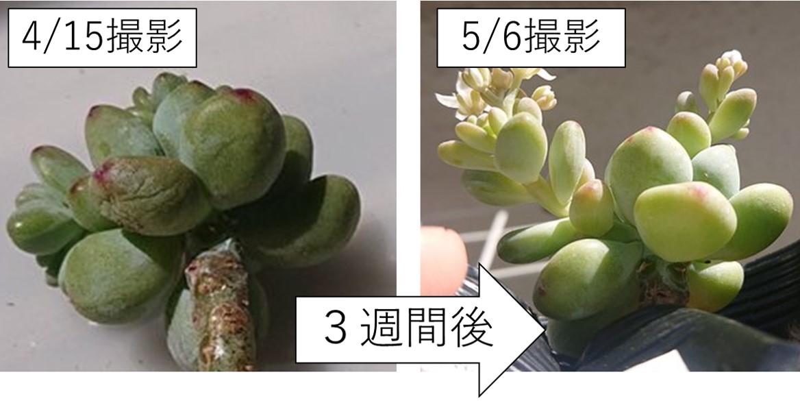 会社員の多肉植物葉(よう) ロッティ 復活比較