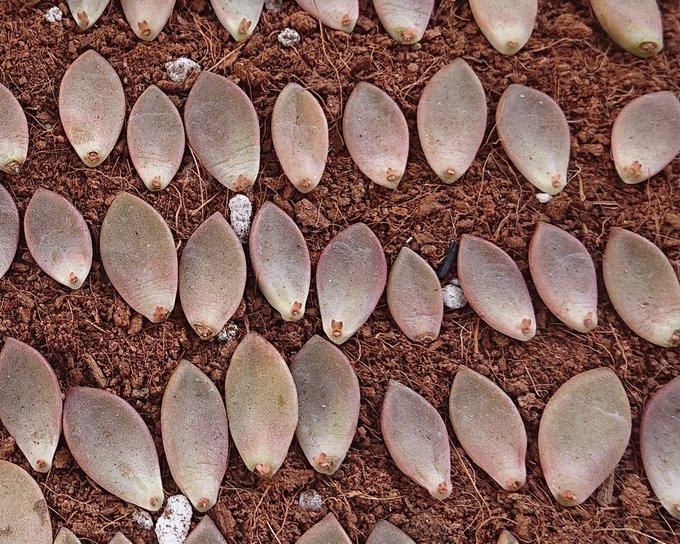 会社員の多肉植物葉(よう) ブロンズ姫葉挿し4-30