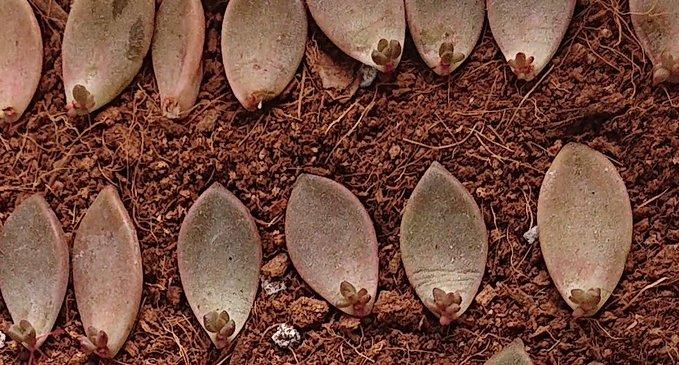 会社員の多肉植物葉(よう) ブロンズ姫葉挿し5-6-2