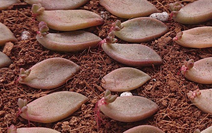 会社員の多肉植物葉(よう) ブロンズ姫葉挿し5-8-1