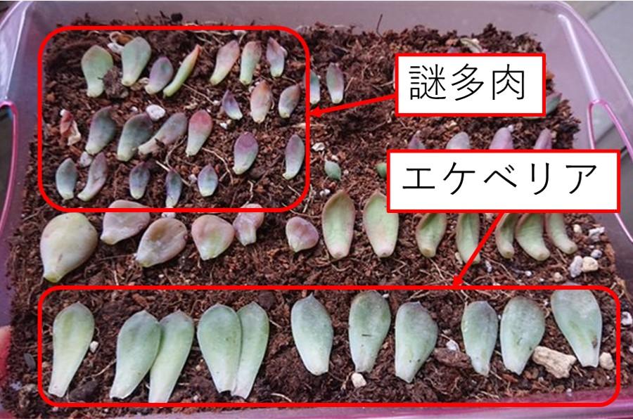 会社員の多肉植物葉(よう) 100均エケベリア3-25-2