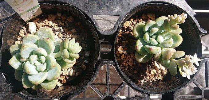 会社員の多肉植物葉(よう) ロッティ5-6-1